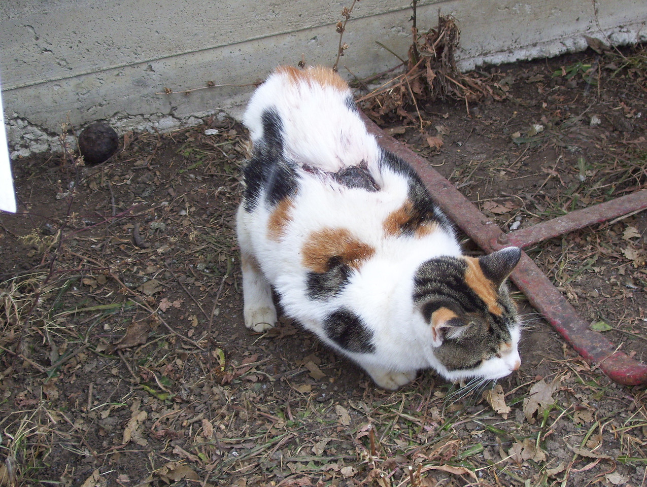 7 The Slow Motion Porch Pretty Kitty<br /> We caught her out this morning, she was setting there when I saw her but Kathy saw her walk very slow. She gets around but very slow and deliberate with how she walks. The back legs don't seem to let her bend down in a normal crouching position