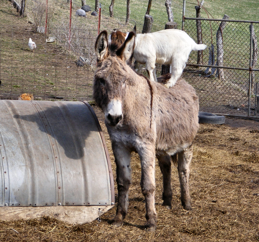 5-7-- The Donkey Takes a Step Away From The Half-round.<br /> It was a little unsettling for the kid but she stays with the donkey.
