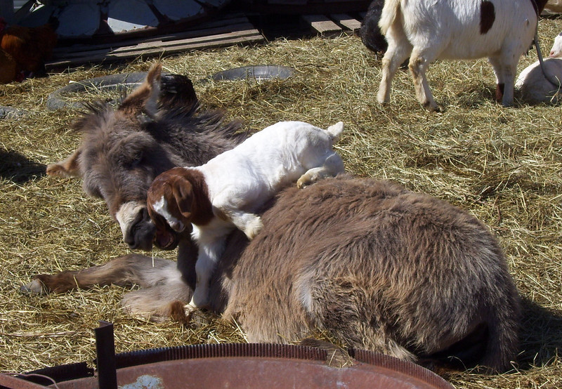 2-7-- To which the Donkey Replied,<br /> Hey Kid; I could tell you a thing or two about getting along around here.