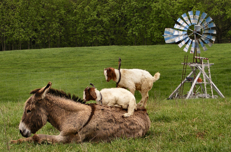 8-12-- I'm Going To lay Down And Rest Some More.<br /> The kid lays right down in the middle of the donkey.