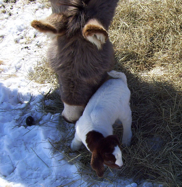 OH----You feel so soft on my cheek.<br /> At 2 days old, with the sun shinning even though it was only 0°F outside, I brought the 2 new kids out into the loafing yard for a while today. The donkey checked them out right away, she knew they were new. It was like she was holding her cheek against it for a bit like a mother will with her child.