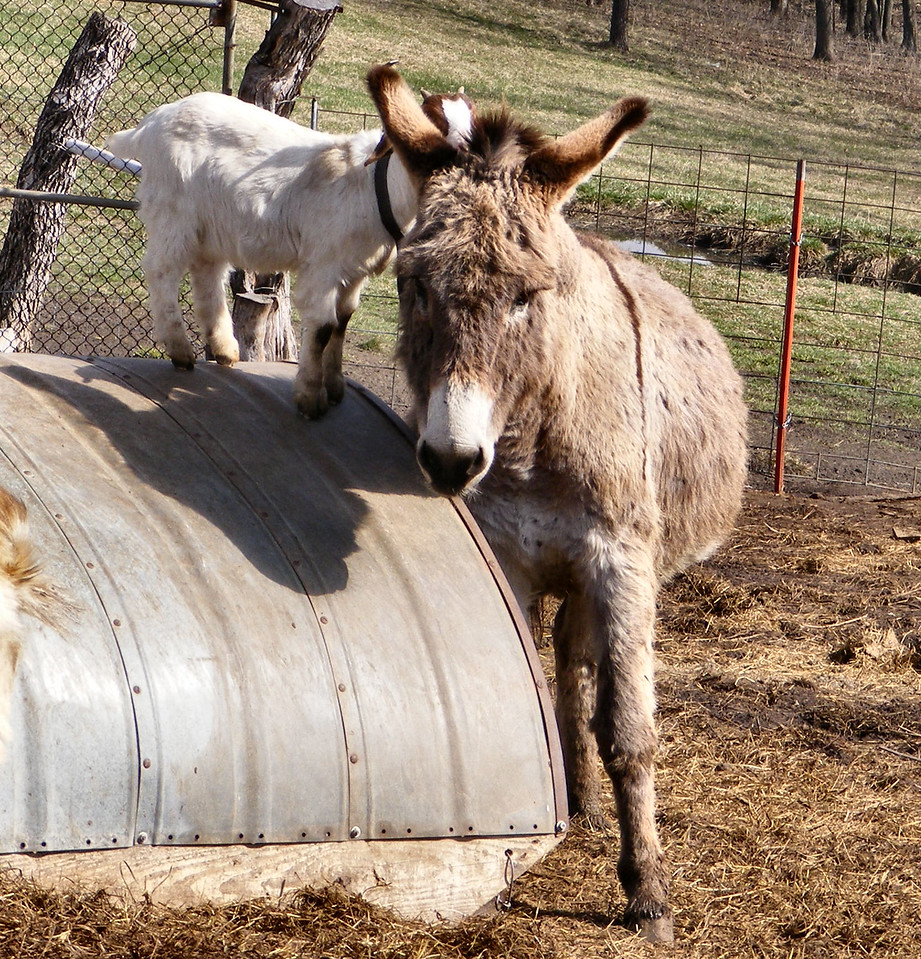 "5-3-- The Kid Says ""Come In A Little Closer"".<br /> The donkey looked like it was trying to get as close to the kid as it could, so the kid could step right onto his back."