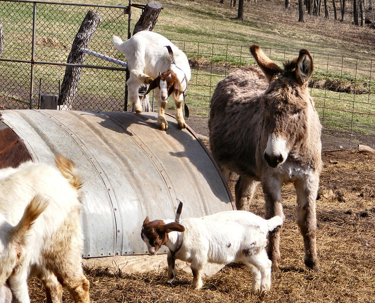 5-2-- Moving in for the Pickup<br /> The donkey moved in closer to the half-round where the kid was standing.