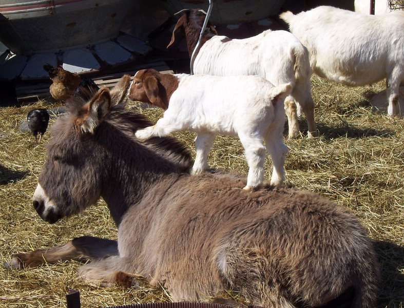 2-6-- You are listening to me aren't you?<br /> After all the action the donkey went over and lay down on a nice spot to rest awhile so Missies kid jumped up on her back to congratulate her on a job well done.