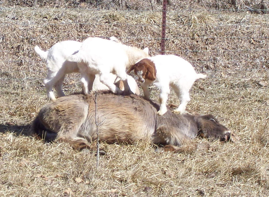 3-5-- its Getting Crowded up Here.<br /> They were all over the donkey, which didn't seem to mind in the least.