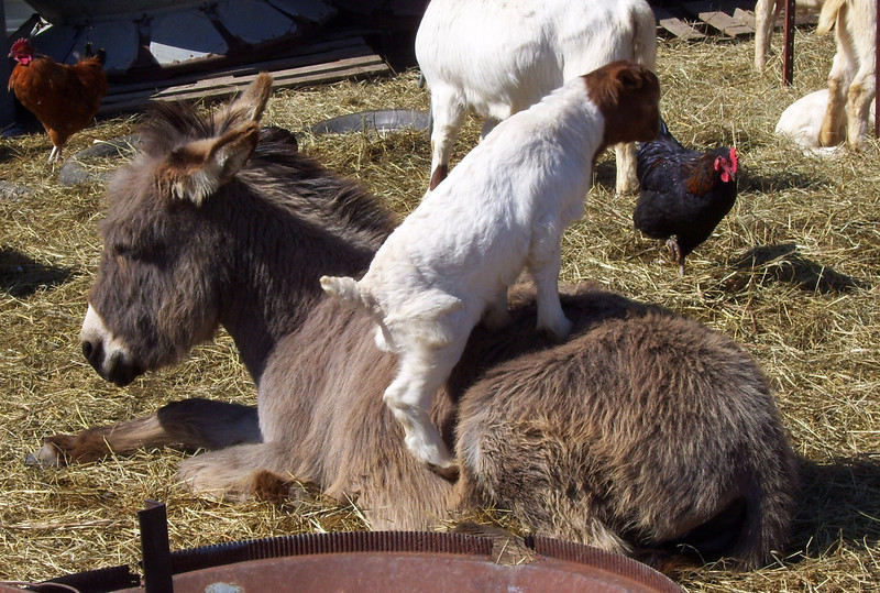 2-4-- Climbing the mountain<br /> After all the action the donkey went over and lay down on a nice spot to rest awhile so Missies kid jumped up on her back to congratulate her on a job well done.