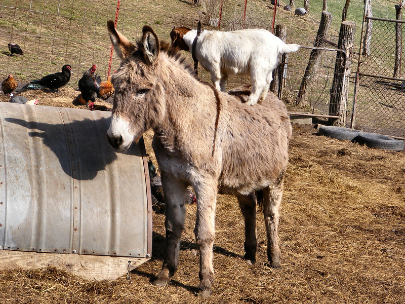 5-10-- Big John Holds Real Still For the Kid.<br /> So the kid stays on the donkeys back a bit longer.