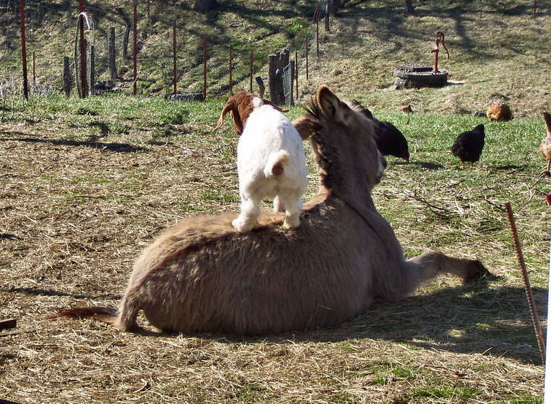 4-2--Well, You going to get up now?<br />  On this shot the donkey had moved to get her foot in position to get up which had knocked the kid off and the kid had just jumped back up onto the donkey. She was back on the ground a couple seconds later.