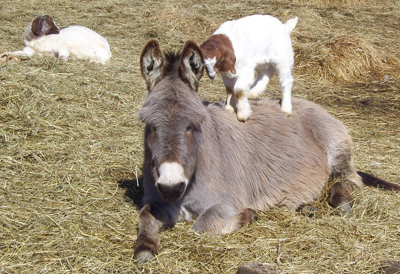 2-8-- OK Now, How about a Donkey Back Ride<br /> The kid played around on the donkey for quite awhile then wondered off to see what other mischief she could get into.