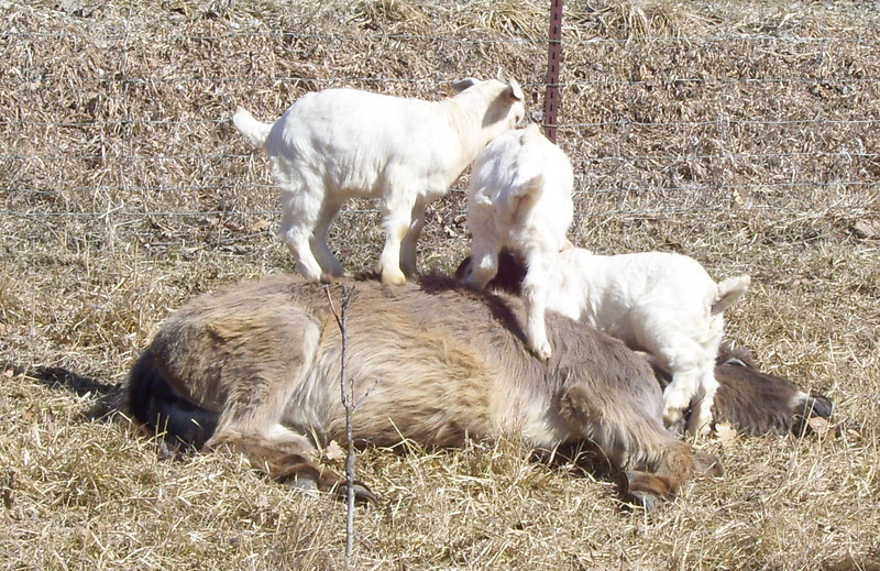 3-14-- I'm Not Letting You up Here.<br /> They had a fine ole time pawing over the donkey from end to end.