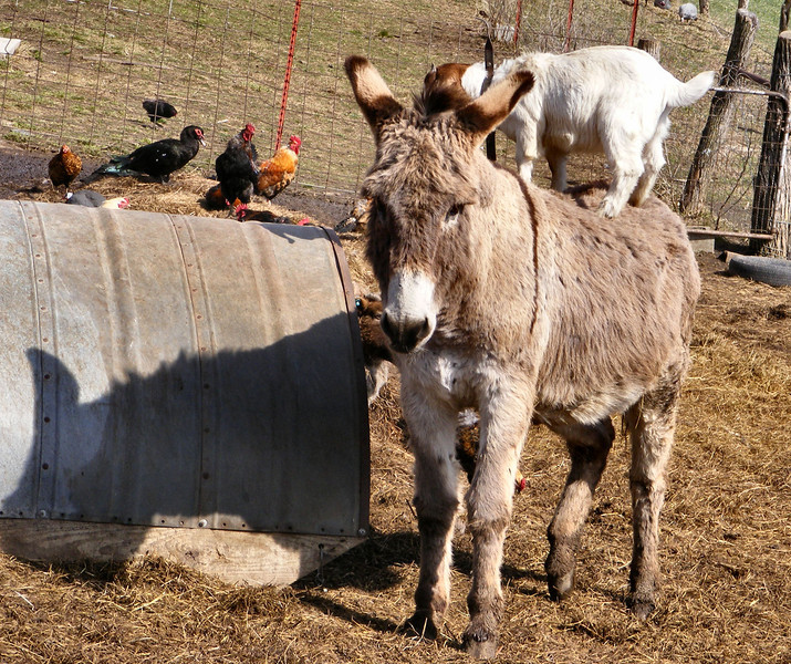 5-11-- Even So, the Donkey Has To Shift His Feet Some.<br /> The Kid is still not sure about being on a moving and shifting platform.