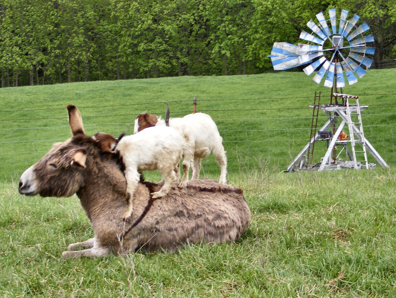 8-11--  Oh, Big John, You're such A Sweet Donkey.<br /> Big John doesn't know how to take it, being smooched by a goat.