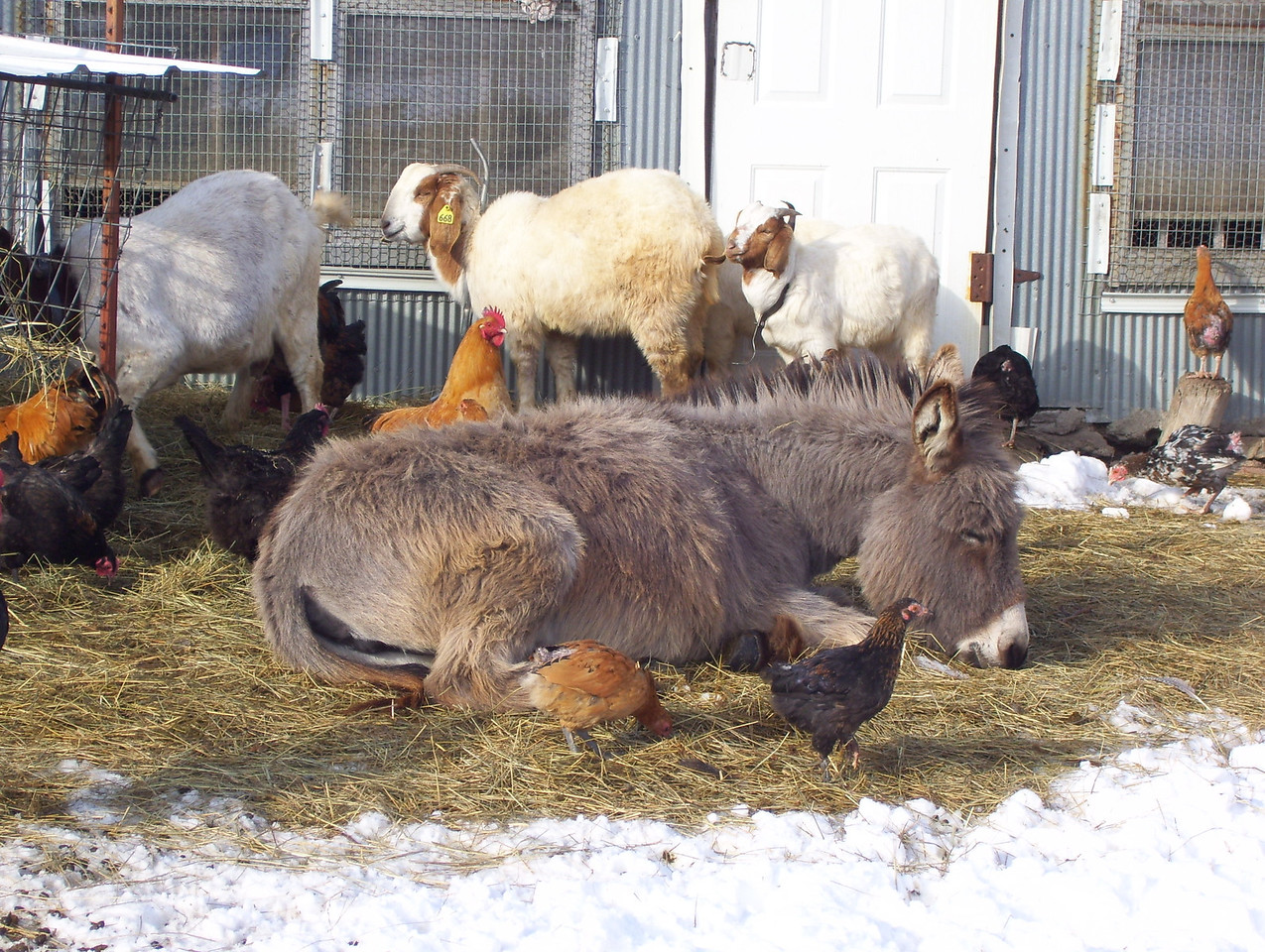 1-5--- 40 more winks, after the rubdown.<br /> The donkey stayed down, just closed her eyes and went back to sleep.