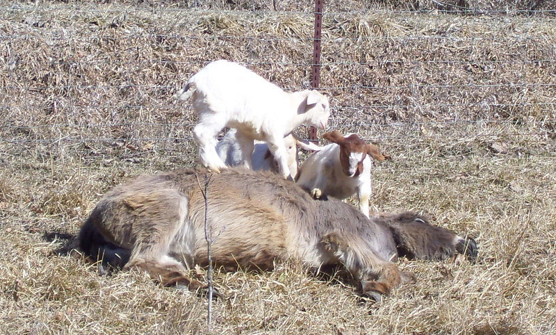 3-12--  Let me get back up here.<br /> They had a fine ole time pawing over the donkey from end to end.