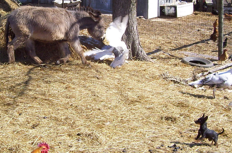 """2-1-- Get out of here and stop trying to hog the show.<br /> Chapter 2---<br /> I was out in the loafing yard watching the goats and other critters, when I noticed the donkey, after getting a drink over by the turkey shed and then standing in the gate for awhile, started chasing 3 of the turkeys around the old bales of hay I have over by the fence.  I was fumbling around trying to get the camera out of my pocket. They made 2 trips around the hay and I got this one picture at the last of the 2nd circuit of the turkey flapping its wings to get away. The goats were watching what was going on and Mighty Mouse was cheering on the turkey. After 2 trips around the hay the donkey said """"I guess I showed them"""" and wondered over closer to the barn for more """"show and tell"""". I cropped the first picture down to get from the donkey to the dog. The next shows the action and the 3rd, the reaction."""