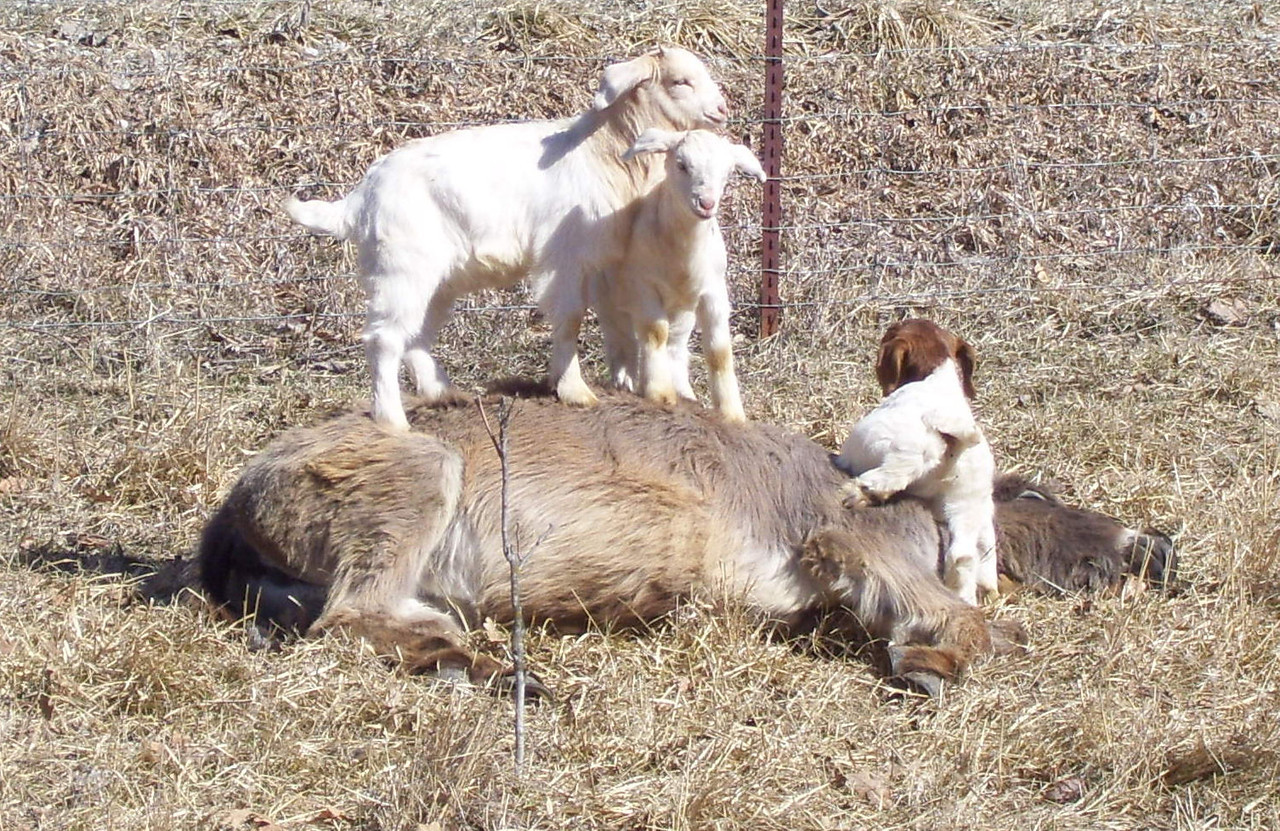 3-11-- We got you down---Oh but not off.<br /> They had a fine ole time pawing over the donkey from end to end.