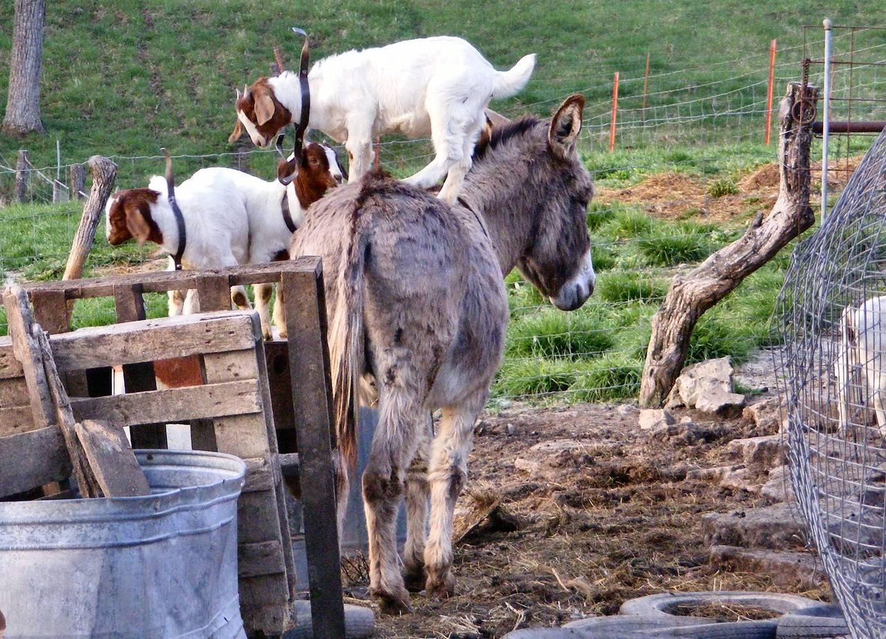 "7-1-- Another morning for ""King of the Donkey"".<br /> Chapter 7 ---<br /> After I got the goats in their stalls for their morning feed, I looked to see where the donkey was. He was by the old water tanks, only on the up hill side so I got the camera as I figured the kids wouldn't be to long in finding him. They weren't."
