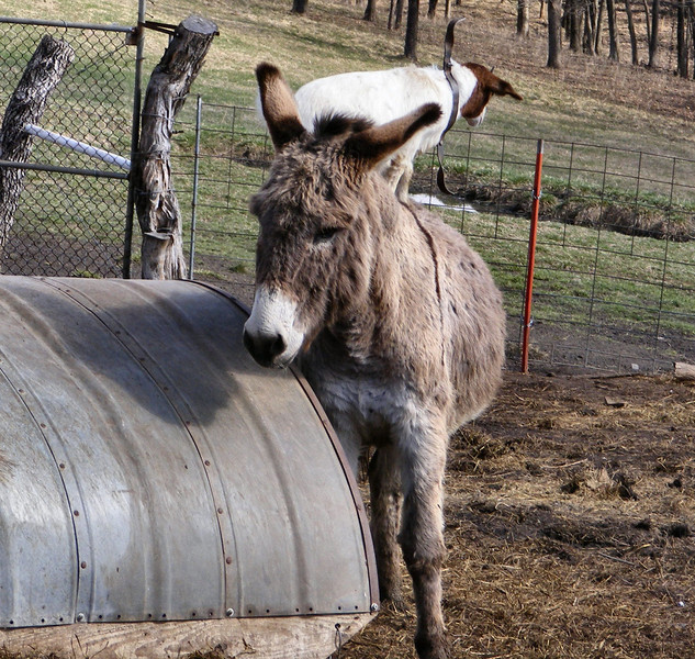 """5-4-- Like the Old Station Master Used To say, """"All Aboard"""".<br /> The kid just steps over onto the donkeys back."""