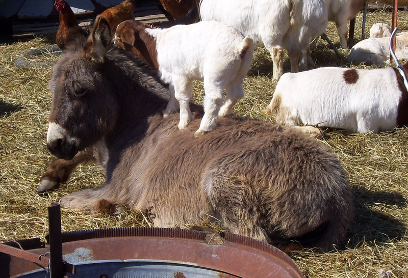 2-5-- Way to go there, Donkey<br /> After all the action the donkey went over and lay down on a nice spot to rest awhile so Missies kid jumped up on her back to congratulate her on a job well done.