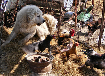 The Story of a Dog, a Bone and some Chickens