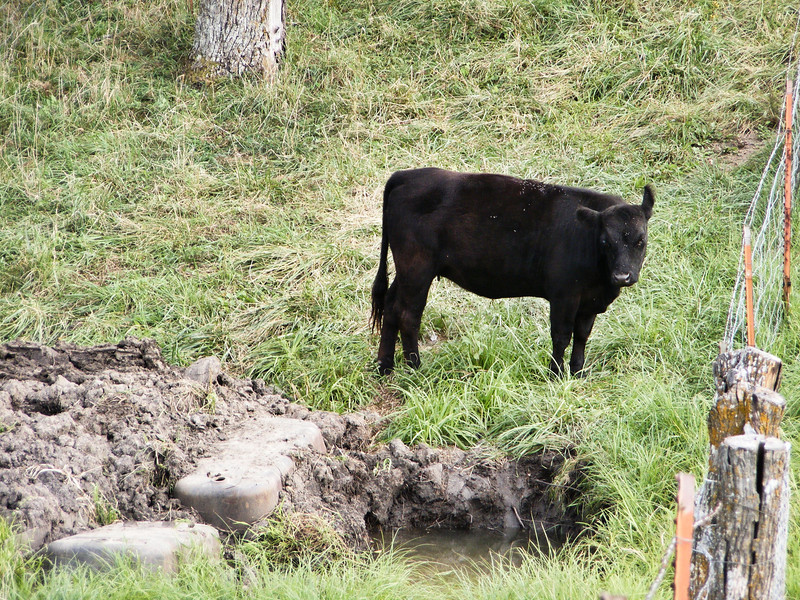 12-- Did You Ever See a Calf Scowl<br /> After she got safely across she looked over at the hole with a look of utter disgust at what it had pulled on her. But she is a very fast learner.