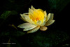A Lotus Bloom