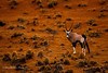 Namib Gemsbok