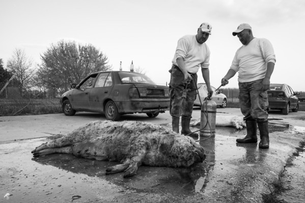 Traditional Pig Slaughter, Hungary