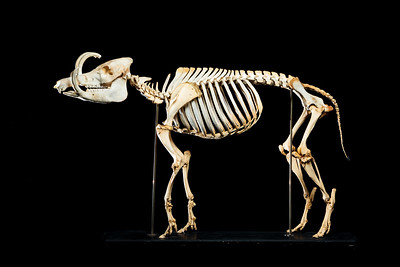 Hairy babirusa skeleton