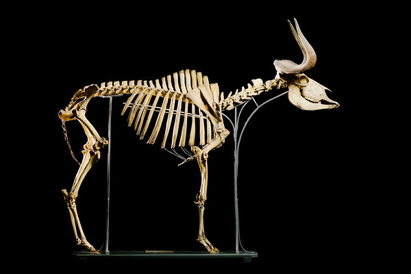 Black wildebeest skeleton