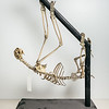 Pale-throated sloth skeleton