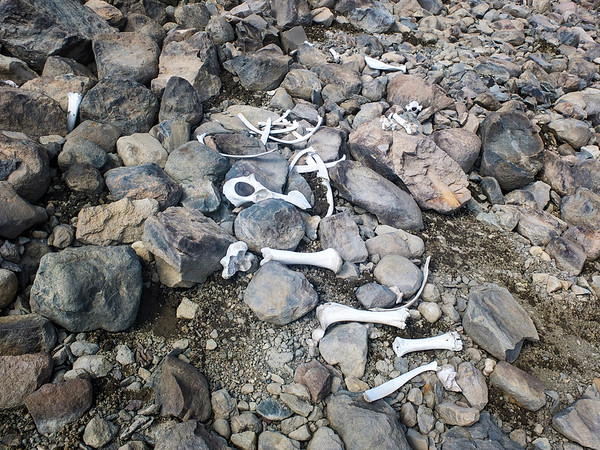 Fragments of an American Bison skeleton that had melted out of an ice patch in northern Wyoming. Bison were previously thought to have mainly lived in the low plains, but these skeletons suggest that they may have once lived in higher environments.