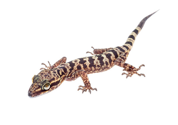 Inger's bow-fingered gecko