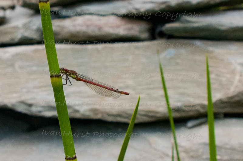 Reed Beds at home - water recycling<br /> Figure 31 – 'Wildlife – Large Red Damselfly (Pyrrhosoma nymphula)'