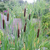 Reed Beds at home - water recycling<br /> Figure 35 – 'Bulrushes (Typha latifolia) in summer'