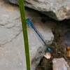 Reed Beds at home - water recycling<br /> Figure 32 – 'Wildlife – Common Blue Damselfly (Enallagma cyathigerum)'