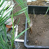 Reed Beds at home - water recycling<br /> Figure  17 – 'New Surge tank under construction - third layer (topsoil) and first planting'