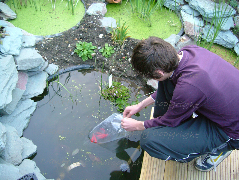 Reed Beds at home - water recycling<br /> Figure 22 – 'David preparing to release fish.'
