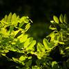 False acacia 'Frisia' leaves