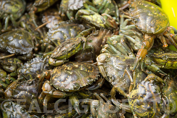 Fresh haul of green crabs from an estuary in Ipswich, MA.