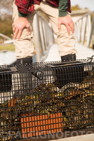 Roger Warner surveys his green crab haul in Ipswich, MA.
