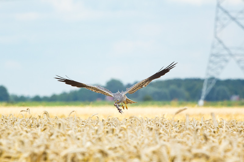 A male Montagu's harrier named Joey carryies a prey to his nest in Groningen, the Netherlands. Researchers name all harriers equipped with GPS-backpacks.