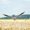 Joey, a male Montagu's harrier, sweeps in carrying a prey to his nest in Groningen, the Netherlands. Researchers name all harriers equipped with GPS-backpacks.