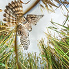 Clasping a songbird, a female Montagu's harrier prepares to land at her nest to feed her chicks. Groningen, the Netherlands.