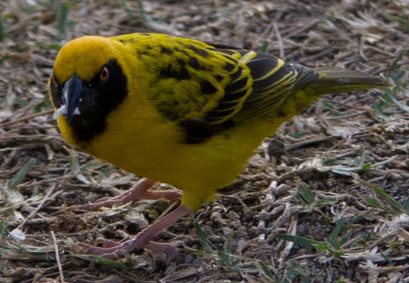 Black-headed Weaver<br /> Black-headed Weaver in the grounds of Legends Hotel, Mauritius