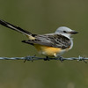 Scissor-tailed Flycatcher,  Anahuac NWR, TX - Oct. 2013