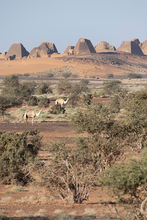 Camels dine on acacia trees beneath the royal Kushite necropolis of Meroë.   This cemetery, used between 350BC to 300AD, contains over fifty pyramids and served as the necropolis for the capital city. The pyramids are a UNESCO World Heritage site.  The Kingdom of Kush flourished in modern day Nubia between 2000 BC - 350 AD, successfully invading Egypt during the 25th Dynasty and establishing a line of influential kings and queens who ruled along the Nile.