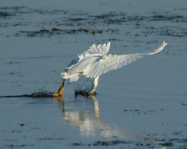 Snowy Egrets: Foot-dragging Aerial Feeding