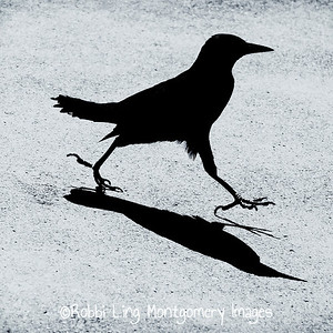 Black Bird Strut