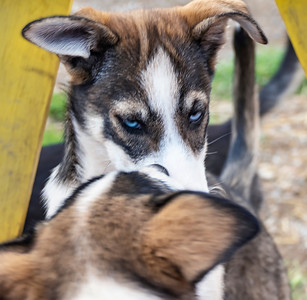 Sled Dog Skeptic